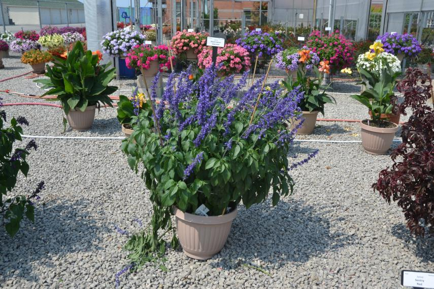 Picture of flowers in containers in the compound at the Vineland greenhouses.